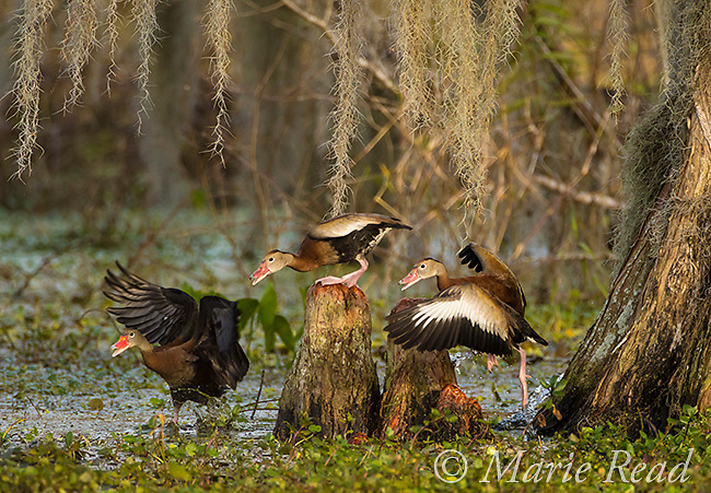 Black-bellied Whistling-Ducks (Dendrocygna autumnalis), three during altercation about personal space, among bald cypress knees, Lakeland, Florida, USA