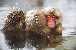 JAPAN, NEAR NAGANO, JIGOKUDANI, SNOW MONKEYS (Japanese Macaque), SITTING IN HOT SPRING
