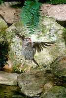 Field sparrow , Spizella pusilla, finished bathing in garden pool, vigorously shaking off drops of water. Midwest USA