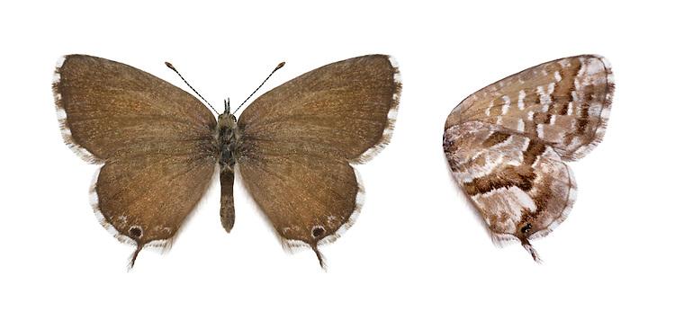 Geranium Bronze - Cacyreus marshallii