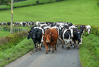 Limousin bull with cows coming in for milking, North Yorkshire.