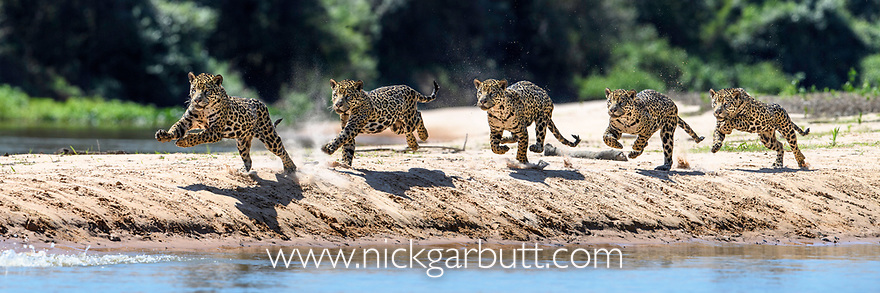 Female jaguar (Panthera onca) running along a sand spit chasing after a caiman. Northern Pantanal Cuiaba River, Mato Grosso, Brazil. Composite image of five frames from a sequence of 20+ images.
