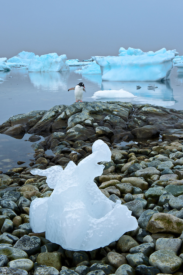 A Gentoo penguin hangs out near a chunk of glacial ice grounded by the tide.