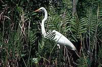 Great egret (Casmerodius albus) in ferns on the edge of cypress swamp, Okefenokee National Wildlife Refuge, Georgia