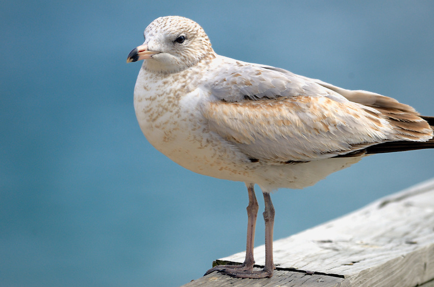 The Iceland Gull, Larus glaucoides, breeds in Greenland during May to June, remaining in Greenland for the summer months and travels to Europe and the Northeastern United States for the winter.  Here it is on the rail of the Pompano Beach Pier.