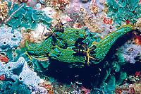 nudibranch, Tambja abdere, mating, Mexico, Sea of Cortez, Pacific Ocean