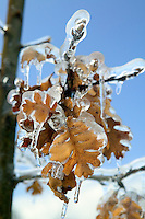 Oak leaves with freezing rain. Near Alpine, Oregon