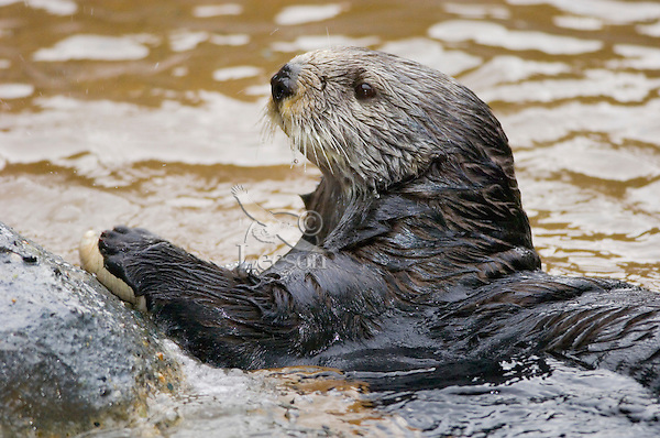 Northern Sea Otter (Enhydra lutris) cracking clam on rock.  Western U.S.