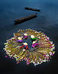 Pictured: Five women stand in shallow water collecting the bright pink flowers of the waterlily plant as their boats drift nearby.    They spread the long plants out in a circle around themselves and let them float on the surface of the water as they harvest them. <br /> <br /> Water lilies thrive in the nutrient rich waters of the Mekong Delta during the rainy season. They are eaten by the local people and the many tourists that visit the region.    The beautiful images were captured by photographer Pham Huy Trung, in Long An Province, Vietnam.    SEE OUR COPY FOR DETAILS<br /> <br /> Please byline: Trung Pham Huy/Solent News<br /> <br /> © Trung Pham Huy/Solent News & Photo Agency<br /> UK +44 (0) 2380 458800