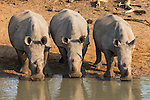 White rhinos (Ceratotherium simum) drinking, Kumasinga water hole, Mkhuze game reserve, KwaZulu Natal, South Africa, June 2016