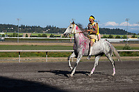 Chaz Racine Riding Red Painted Grey Horse, Team Carson, Battle of Horse Nation, Indian Horse Relay Racing, Emerald Downs, Auburn, Washington, WA, America, USA.