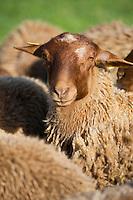 Europe/France/Centre/41/Loir-et-Cher/Sologne/Ch&eacute;mery: Didier Cr&egrave;che &eacute;leveur , fervent d&eacute;fenseur de la race de brebis; La Solognote Auto N&deg;: 2012-4109<br /> Europe/France/Centre/41/Loir-et-Cher/Sologne/Ch&eacute;mery: Didier Cr&egrave;che sheep farmer ,   breed sheep The Solognote  - Auto N&deg;: 2012-4109