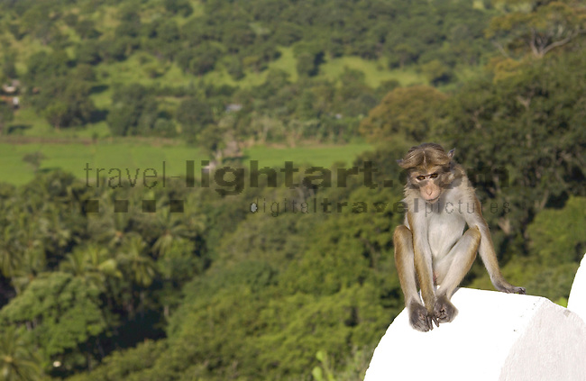 CAVE-TEMPLES, DAMBULLA, MATALE DISTRICT, CENTRAL PROVINCE, SRI LANKA...LANDSCAPE, SCENIC,..TOQUE MONKEY, CEYLON-HUTAFFE, (MACACA SINICA),  MEERKATZENARTIGE, OLD WORLD MONKEYS, CERCOPITHECIDAE, 7/5 030,.NATURE, WILDLIFE, TREES, MAMMALS, ANIMAL, FAUNA, ..©Photo: Paul J.Trummer, Mauren / Liechtenstein www.travel-lightart.com