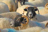 Sheep, ewes Scottish Blackface and Swaledale ewes in pen at Dinkling Green, Lancashire...Copyright John Eveson 01995 61280..j.r.eveson@btinternet.com
