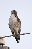 White-tailed hawk on wire