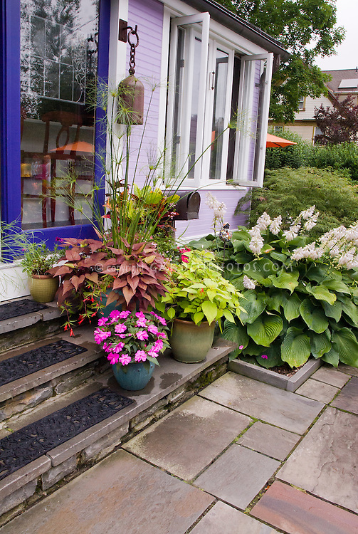 Container garden on the house steps, including tropical papyryus, sweet potato vine Ipomoea, petunias, coleus. Entrance into house, purple home with blue door, stair treads, patio stones