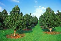 Macadamia nut trees in South Kona, Big Island