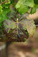 Vine leaf. Cabernet Sauvignon. Chateau Kirwan, Margaux, Medoc, Bordeaux, France