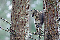 Bobcat, Washington