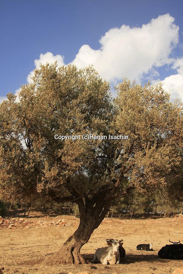 Israel, Upper Galilee, cows under an Olive tree on the road to Keren Naftali