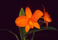 Cattleya Petite Jewel aka Sophrolaeliocattleya (Cattleya Tangerine Jewel x C. coccinea)