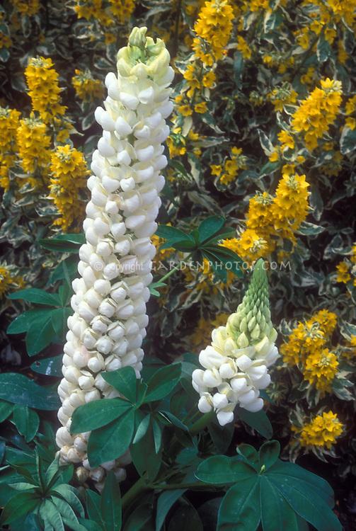 White Lupinus with Lysimachia punctata 'Alexander', lupines
