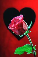 Rose illustration for valentines day.