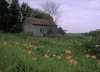Tiger lillies and old barn on Iowa farm.  CD scan from 35mm chrome.  © John Birchard