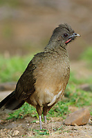 Adult Plain Chachalaca (Ortalis vetula) showing red gular stripe. Starr County, Texas. March.