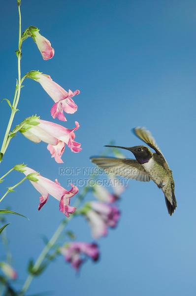 Black-chinned Hummingbird, Archilochus alexandri, male in flight feeding on flower, Madera Canyon, Arizona, USA