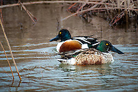 Northern Shoveler at Bosque del Apache National Wildlife Refuge in New Mexico.
