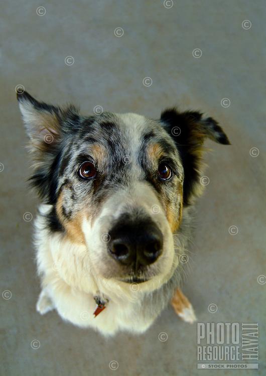 Closeup of the nose and expressive eyes of a Kula, Upcountry Maui dog