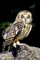 OW05-018z - Short-eared Owl - with mole prey - Asio flammeus