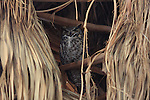 great horned owl in palm tree