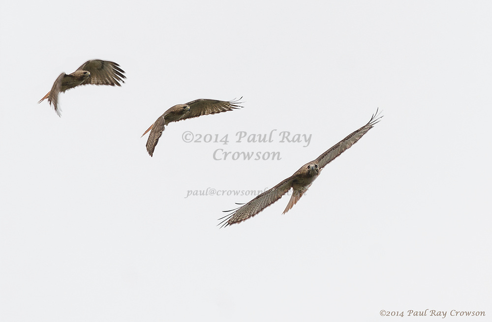 Pale Red-tailed Hawk montage