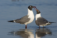 Laughing Gull - Larus atricilla Breeding pair in courtship display