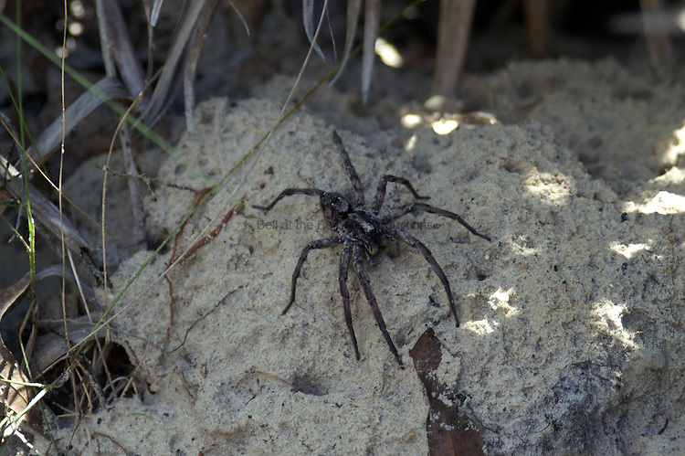 This wolf spider is sitting near a gopher tortoise burrow.