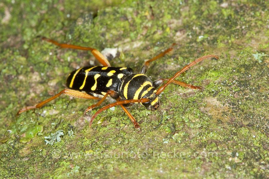 Eichen-Widderbock, Eichenwidderbock, Widderbock, Wespenbock, Eichenzierbock, Wespen-Bock, Eichen-Zierbock, Plagionotus arcuatus, Clytus arcuatus, yellow-bowed longhorn beetle, Tarnung als Wespe - Mimikry