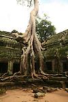 Temples d Angkor, ancienne cite royale khmere. Temple de Ta Prohm volontairement laisse a l etat de nature. D immenses fromagers ont envahi les ruines. Cambodge..