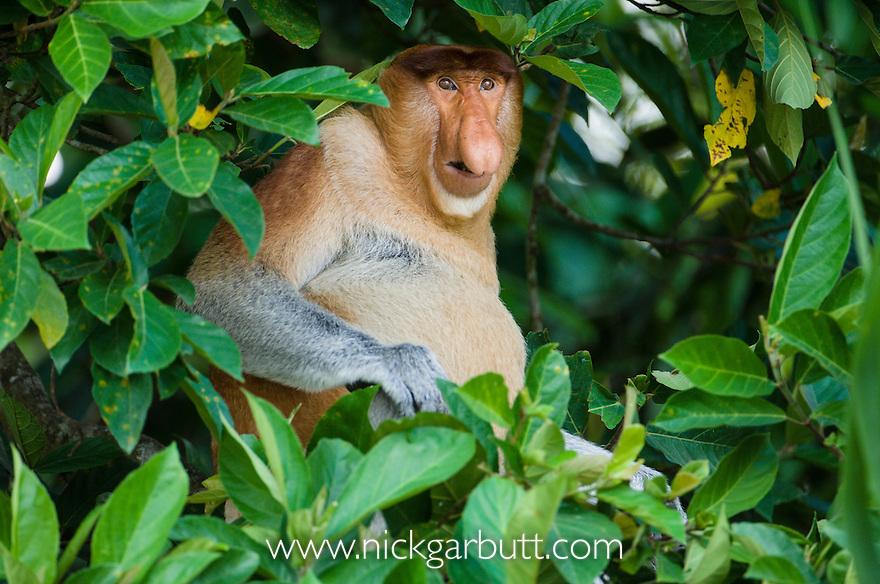 Adult male Proboscis Monkey (Nasalis larvatus) resting river-side vegetation. Kinabatangan River, Sabah, Borneo.