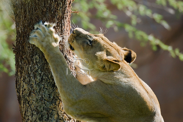 African Lion (Panthera leo) female marking tree with her claws.
