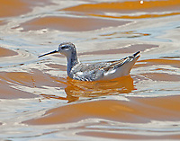 Wilson's phalarope in August