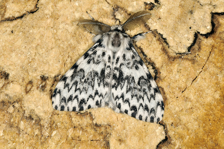 Black Arches Lymantria monacha Length 20-24mm. A strikingly patterned moth that rests with its wings spread flat. Adult has white forewings that are marked with black wavy lines; if wings are spread, pink and black abdomen can be seen. Flies July-August. Larva feeds mainly on oaks. Widespread and common only in southern and central Britain.