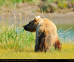 Alaskan Coastal Brown Bear, Golden Female, Silver Salmon Creek, Lake Clark National Park, Alaska