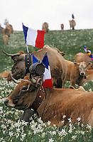 Europe/France/Auvergne/12/Aveyron: Aubrac - Vaches en pâturage lors de la fête de la transhumance