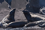 Guadalupe Island, Baja California, Mexico; a pair of juvenile northern elephant seals square off on a sandy beach in the afternoon sun