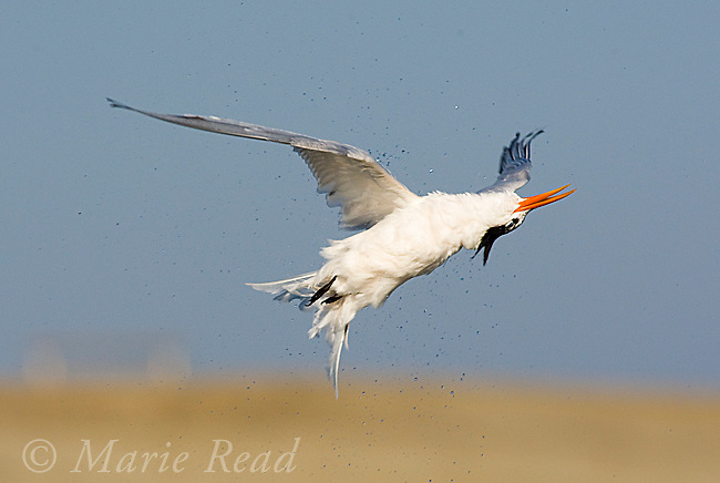 Elegant Tern (Sterna elegans), midair shake. The bird twists itself into a bizarre pose, apparently with head upside down, while shaking in flight after diving for a fish, Bolsa Chica Ecological Reserve, California, USA