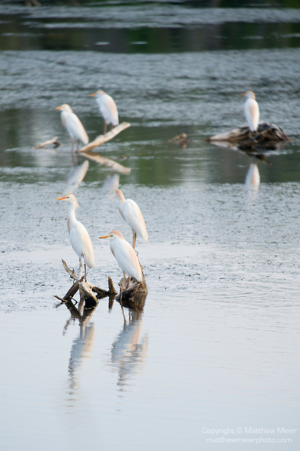 Columbia Ranch, Brazoria County, Damon, Texas; several Cattle Egret (Bubulcus ibis) birds sit on twigs and tree stumps in Lake Glen at twilight