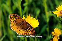 03322-01003 Great Spangled Fritillary butterfly (Speyeria cybele) on Prairie Coreopsis (Coreopsis palmata) Shelby Co.  IL