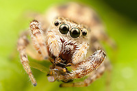 Jumping Spider (Pelegrina proterva) - Female with prey, West Harrison, Westchester County, New York